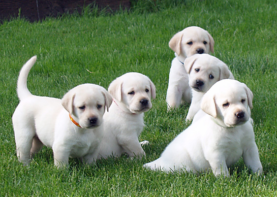 Cold Creek Farms Yellow Labradors Breeders Oregon Labs Labrador Fox Red